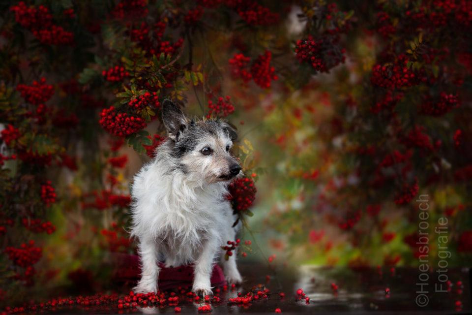 Hundefotografie Bayern Jack Russell Terrier