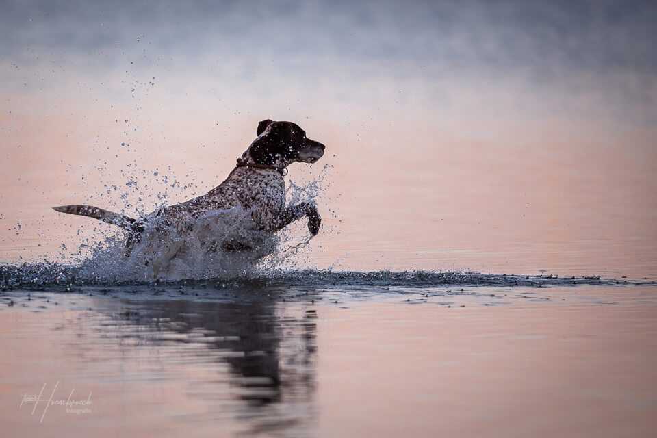Hundefotografie Bayern Hoensbroech Deutsch Kurzhaar
