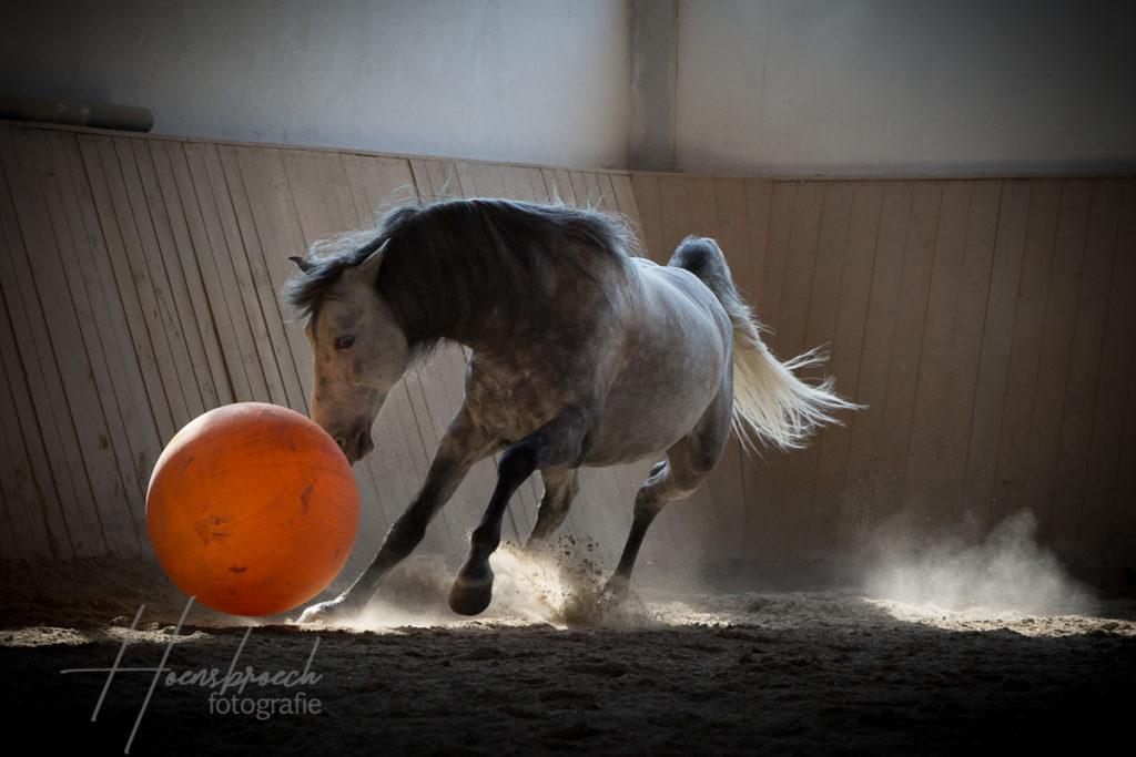 Pferdefotografie Bayern Andalusier Hengst