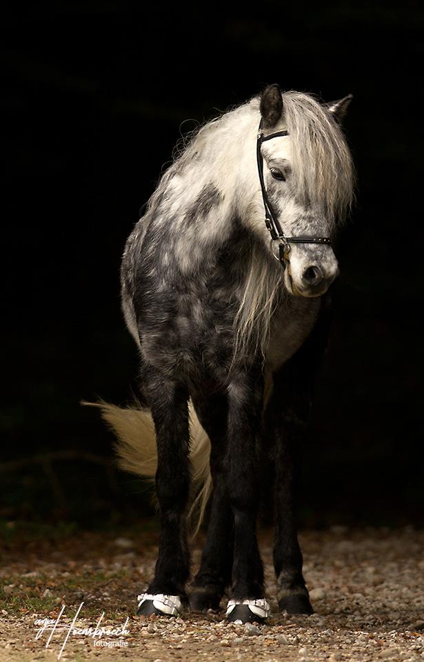 Pferdefotografie Bayern Isländer